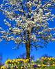 daffoldil tree 3-12_007 162sk1620