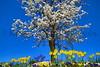 daffoldil tree 3-12_004