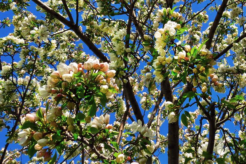 Pear tree wide_004