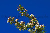 flower peartree Buds_002