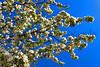 Pear tree wide_001