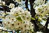 FlowerPearTreeZZ_001