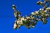 flower peartree Buds_006
