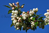flower peartree Buds_003