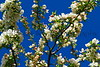 HW flower pear tree_001