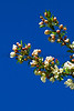 flower peartree Buds_001