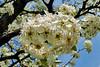 FlowerPearTreeZZ_002