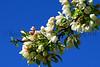 flower peartree Buds_004
