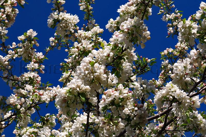 HW flower pear tree_002