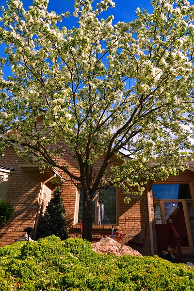 hw spring tall flower tree_004