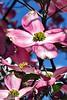 Cherokee Chief Flowering Dogwood_002
