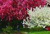 Pink Wht Trees z_002d