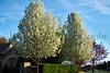 5-13 Flower Trees_012