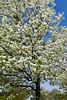 FlowerPearTreeZZ_013
