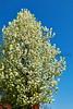 FloweringPearTree_002