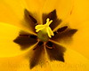 TulipsZoom_030 81