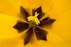 TulipsZoom_030