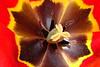 TulipsZoom_005