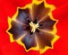 TulipsZoom_002 81