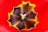 TulipsZoom_003