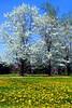 Wht FlowerCrabDandelions_005