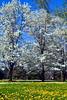 Wht FlowerCrabDandelions_009