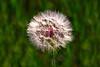 Dandelion puff_002