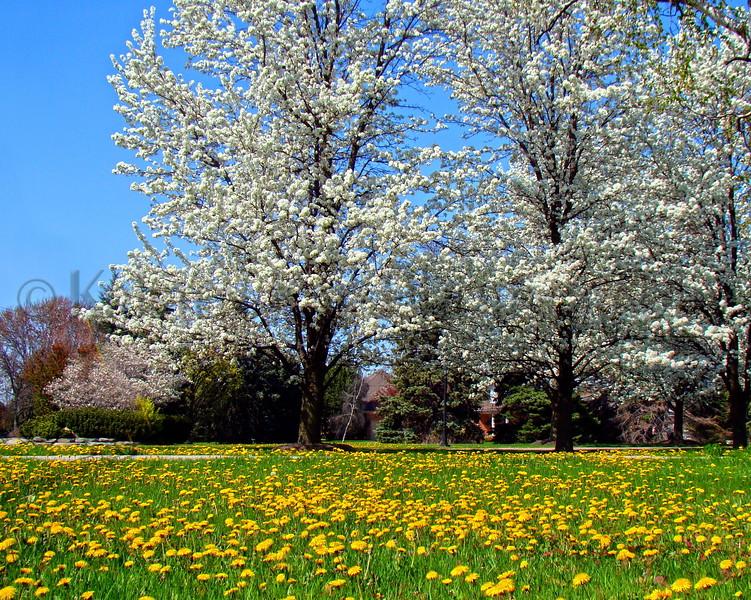 Wht FlowerCrabDandelions_008 81