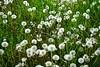 Dandelion puffs_004
