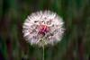 Dandelion puff_001