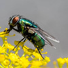 Green bottle fly 1