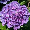 Purple Hydranga