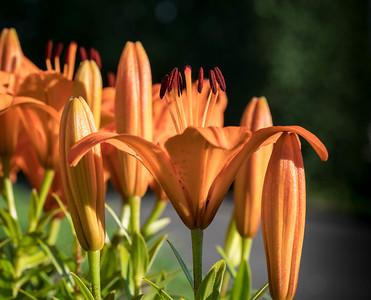 Day lilly garden