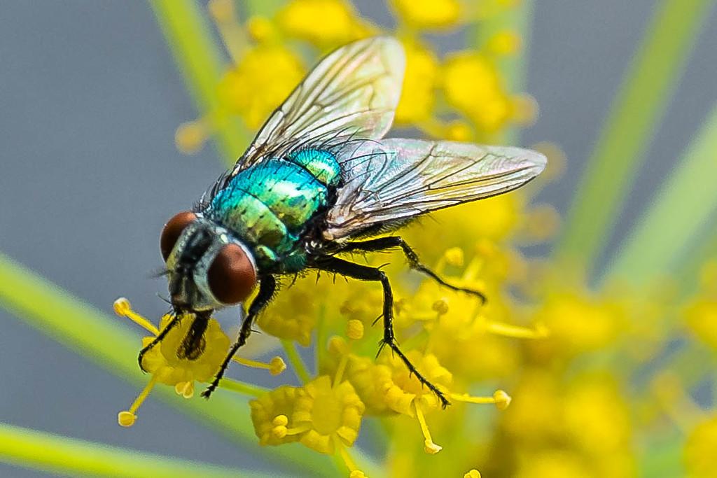 Green bottle fly 2