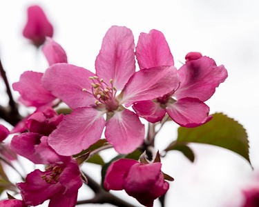 Crab Apple Blossom 1
