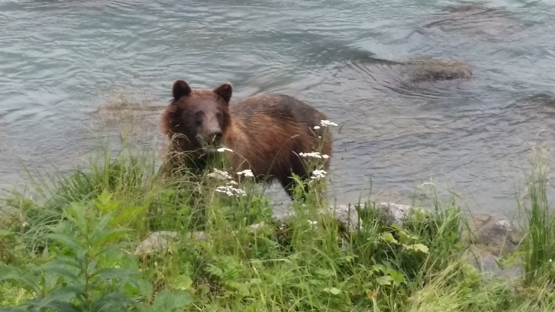 Bears along the Chilkoot River...Haines Alaska