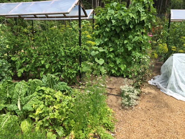 There are beans on the trellis, several varieties of tomatoes, and some healthy chard in the foreground. All are doing exceptionally well.