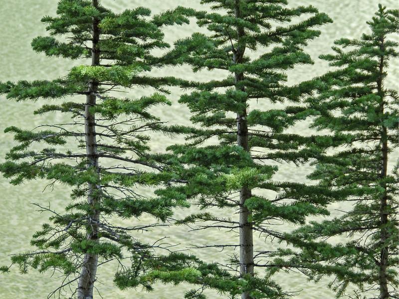 Pines against a backdrop of lake water near Breckenridge, Colorado