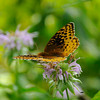 A Spangled Fritillary on campus.