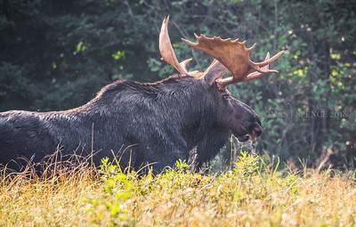BWCA Bull Moose