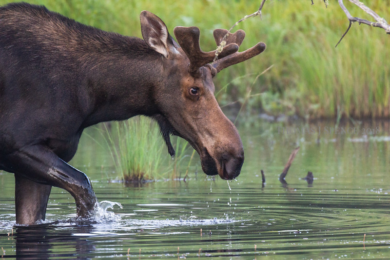 Bull moose in Superior National Forest - Cook County. <br /> Summer 2018