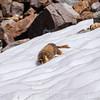 Marmot getting closer