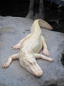An albino aligator.