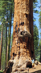 Chief Sequoyah is the 26th largest tree in the world (by volume) according to this list: https://en.wikipedia.org/wiki/List_of_largest_giant_sequoias