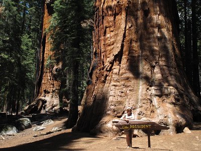 The President is one of the largest sequoias on the Congress Trail. It is either the second or third largest tree in the world (by volume) according to this list: https://en.wikipedia.org/wiki/List_of_largest_giant_sequoias
