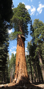 McKinley Tree is one of the most impressive sequoias on the Congress Trail.