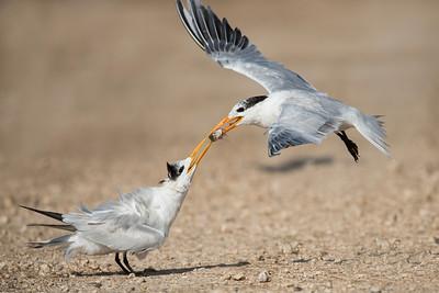 Royal Terns Freeport, TX