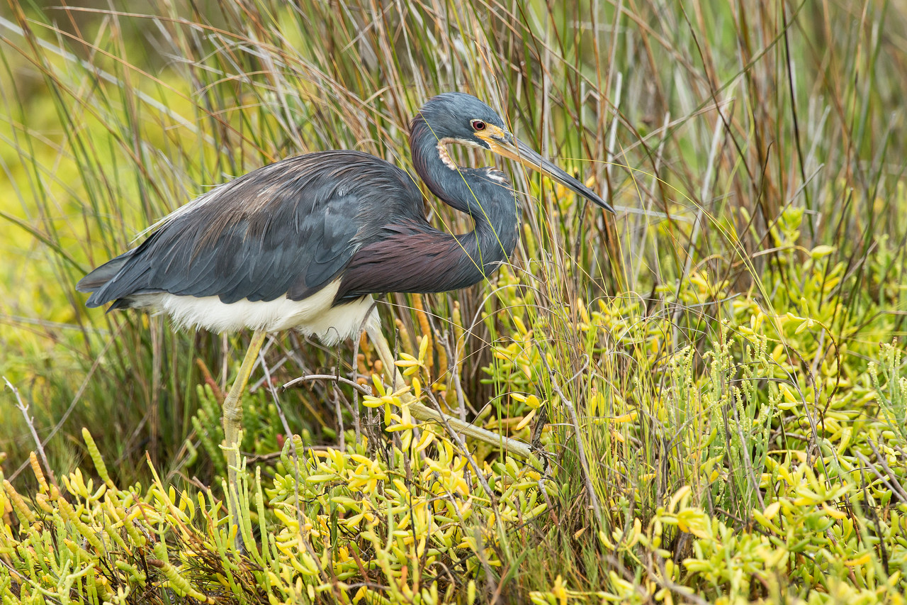 Tri-colored Heron Galveston State Park, TX