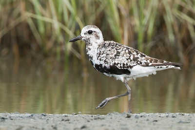 Black-bellied Plover San Luis Pass, TX