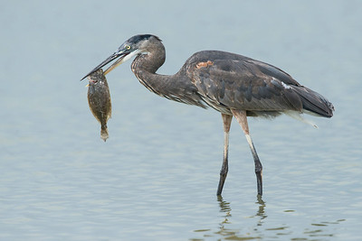 Great Blue Heron with Flounder San Luis Pass, TX